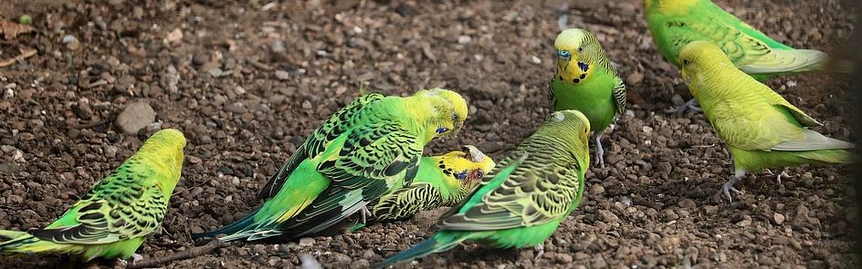 Parrots arguing in a social group situation